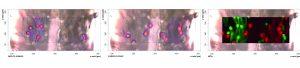 Visuelle Aufnahme des Vliesstoffes und darübergelegt wurden chemische Bilder der Raman Analyse. Links im Bild PE, mittig PET und rechts ist die Verteilung der Fasersorten dargestellt. (Bildquelle: Bruker Optik)
