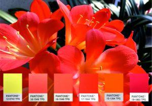 Die Blüte der Klivie vereint in sich einige der aktuellen Pantone-Trendfarben. (Bildquelle: Deifel)