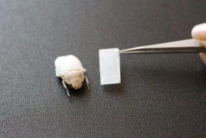 Strahlendes Weiß: Chitinpanzer des Käfers als Vorbild für umweltfreundliche Farbgebung. (Bildquelle: Julia Syurik/KIT)