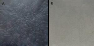 Nahaufnahme von Molkenproteinbeschichteter PLA-Folie, welche mit Palmitinsäurechlorid bei hoher Temperatur (140°C, 20 min) (A) und bei niederer Temperatur (60°C, 60 min) (B) behandelt wurde. (Bild: hs-albsig)