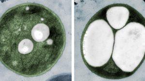 Die Tübinger Forschungsgruppe hat Cyanobakterien so verändert, dass sie Plastik in Mengen erzeugen, die bis zu 80 % ihrer Gesamtmasse ausmachen. (Bild: Karl Forchhammer/Universität Tübingen)