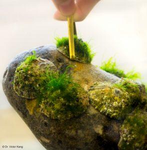 Im wahrsten Sinne des Wortes felsenfest, denn ein Wissenschaftler hob den Stein an, indem er sich an einer einzelnen Napfschnecke festhielt. (Bild: Dr. Victor Kang)