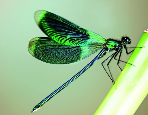Die Libelle liefert das bionische Vorbild für den weiterentwickelten Klettverschluss.  Das Haftprinzip beruht auf sich verhakenden Pilzköpfchen. (Bildquelle: ©Subotina Anna-Fotolia.com)